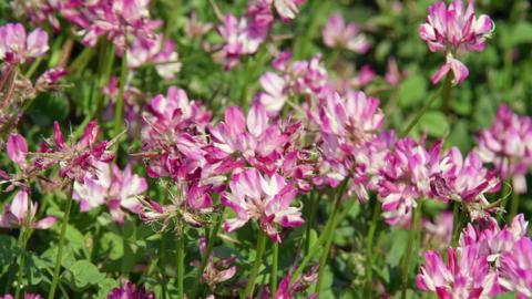 Flowers renge V1-0006 Footage