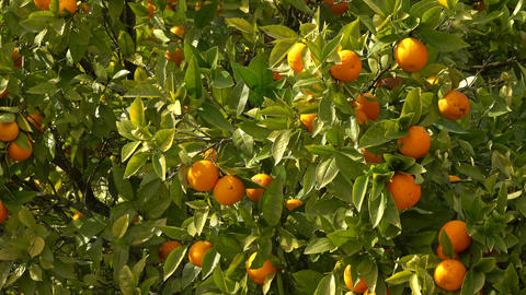 Bright ripe oranges fruits hanging on tree Live Action
