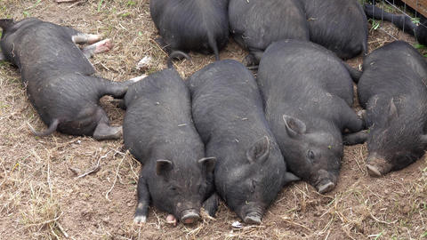 Sleeping black little fun piglets Live Action