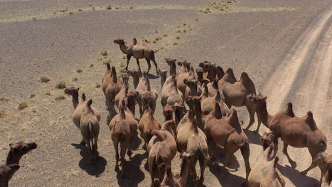 Aerial view of Bactrian camels group in steppe Live Action