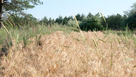 yellowed grass in the steppes of Ukraine at the edge of the forest Acción en vivo