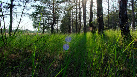 Green grass in a pine forest, a beautiful view of nature with sun flare Acción en vivo