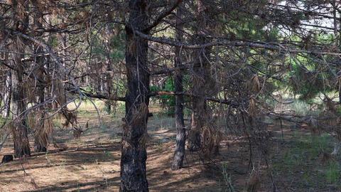 burnt trunks of pine trees in the forest in black ash, Ukraine Acción en vivo
