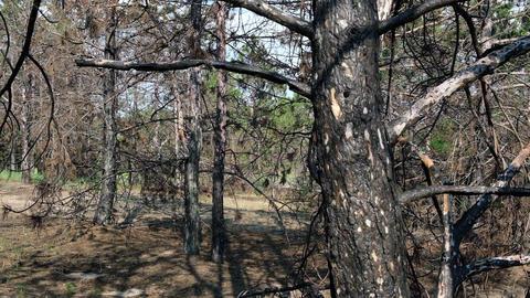 burnt trunks of pine trees in the forest in black ash, Ukraine, Kherson region Acción en vivo