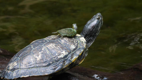 Sea turtle with its baby swimming in the cenote in Mexico Live Action