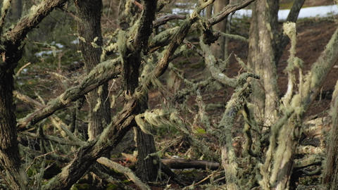 Moss blows on the branches of the Antartic Beech tree, Nothofagus Antarctica Live Action