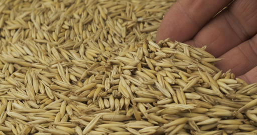 Rotating grain of oats and a farmer's hand. Farmer checks the grain. Close-up of Live Action