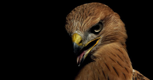 Close up of a hawk with open beak and big eyes looking around, 4k Live Action