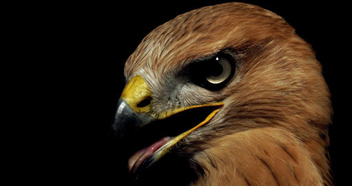 Close up footage of a wild hawk with open beak and its tongue out, 4k Live Action