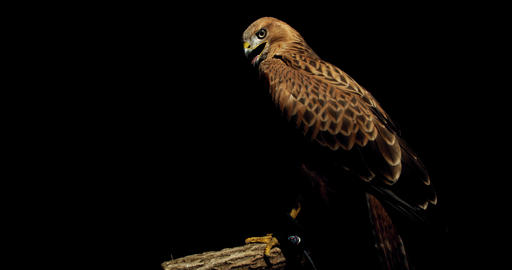 WIldlife, big predatory bird hawk is sitting on a branch on black background, 4k Live Action