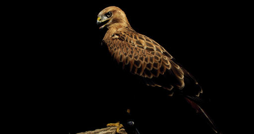 Hawk with open beak is turning its head and looking around the dark room, 4k Live Action