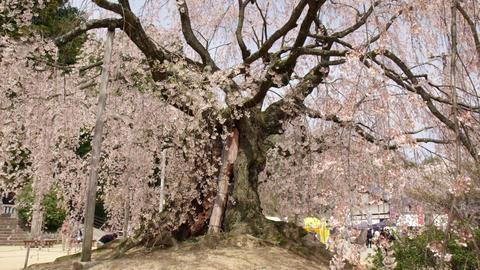 長野県飯田市 舞台桜 Footage
