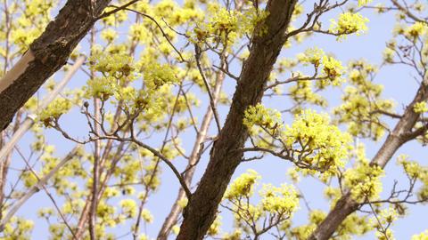 Flowers sanshuyu V1-0026 Footage