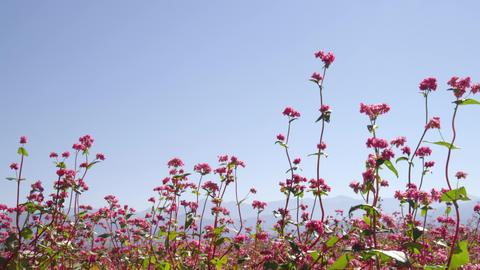 Flowers soba V1-0028 Footage