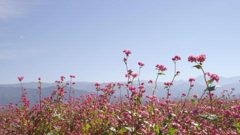 Flowers soba V1-0029 Footage