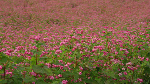 Flowers soba V1-0035 Footage
