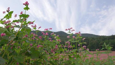 Flowers soba V1-0053 Footage