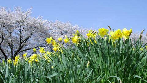 Flowers suisen V1-0026 Footage