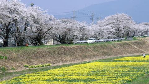 Flowers suisen V1-0029 Footage
