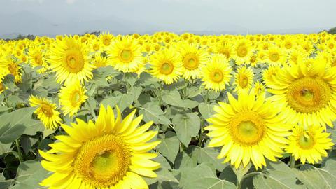 Flowers sunflower V1-0012 Footage