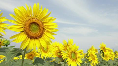Flowers sunflower V1-0025 Footage