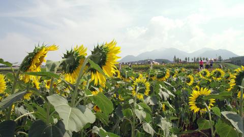 Flowers sunflower V1-0027 Footage