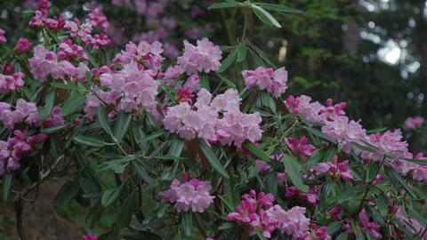 Flowers syakunage V1-0008 Footage