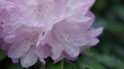 Flowers syakunage V1-0012 Footage