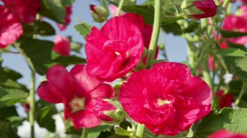 Flowers tachiaoi V1-0006 Footage