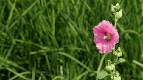 Flowers tachiaoi V1-0008 Footage