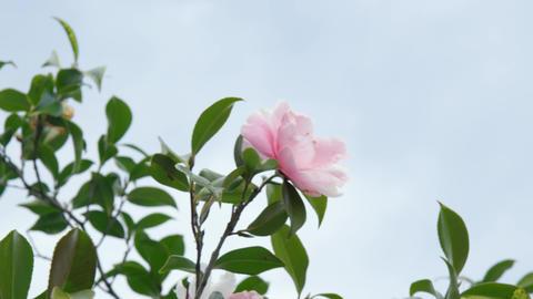 Flowers tsubaki V1-0002 Footage