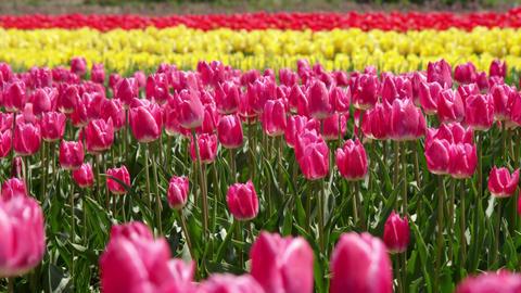 Flowers tulip V1-0006 Footage