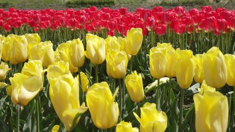 Flowers tulip V1-0010 Footage