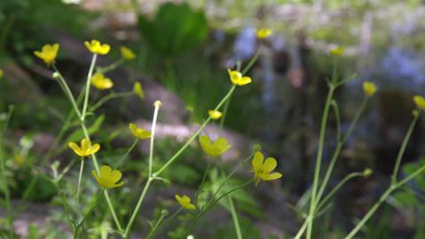 Flowers umanoshigata V1-0007 Footage