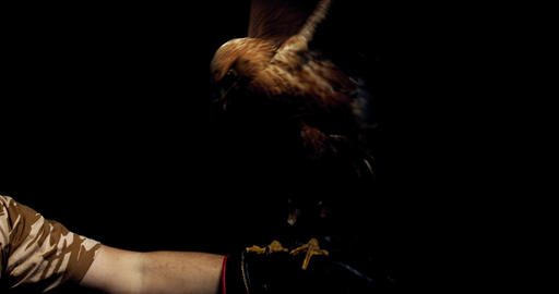 Big wild hawk is sitting on a hand and flapping its wings, big talons, 4k Live Action