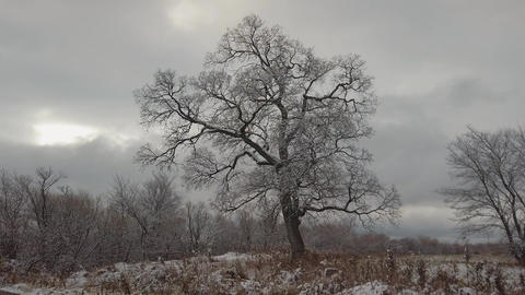 A leafless tree against a grey cloudy sky Live Action