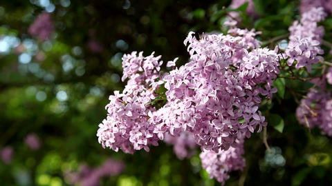 Lush branch with flowers of lilac Footage