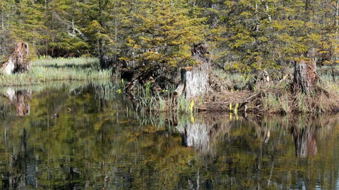 Alaskan forest pond beautiful reflection HD 7084 Live Action