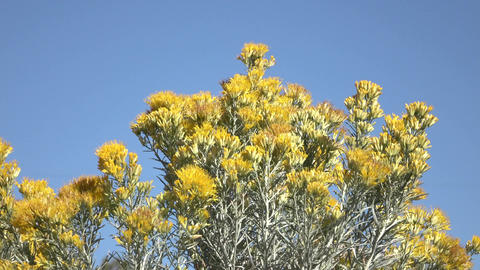 Autumn yellow flowers of sage brush 4K Footage