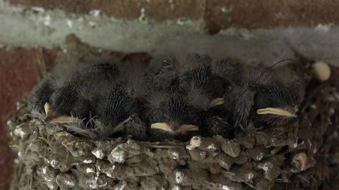 Barn Swallow baby birds in nest close 4K 206 Live Action