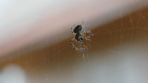 Spider on the web, eats prey Footage