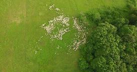 Aerial: camera flying high around sheep herd in a field at Fruska gora, Novi Sad Footage