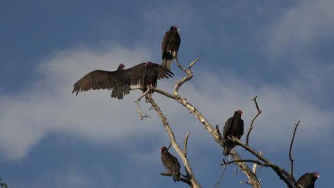 Buzzard birds in dead tree blue sky 4K 115 Footage
