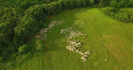 Aerial: camera tilt down on a sheep herd resting in the green field Footage