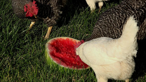Chickens feeding on summer watermellon 4K 243 Footage