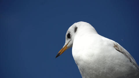 Close up portrait of screaming seagull, white bird with orange beak against blue Live Action