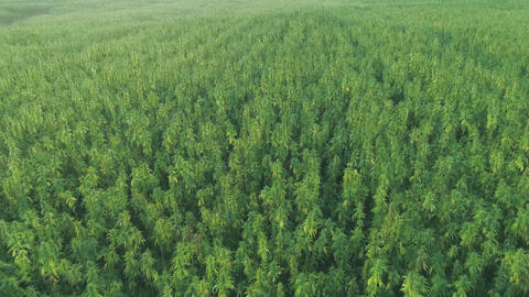 Wide Aerial sunset view of a beautiful CBD hemp field. Medicinal and Live Action