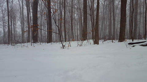 Forest Landscape During Winter Snow Storm. Snowing Weather in Beautiful Woodland With Deep Snow on Live Action