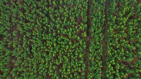 Top view of tractor sprays fertilizer on agricultural plants on the rapeseed Live Action