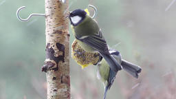 Two Great Tit and one Blue tit are eating fat ball Live Action